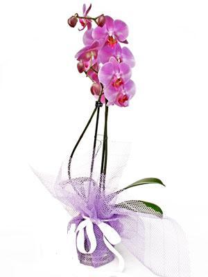 Aydın anneler günü çiçek yolla  Kaliteli ithal saksida orkide