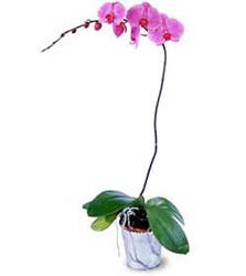 Aydın cicekciler , cicek siparisi  Orkide ithal kaliteli orkide