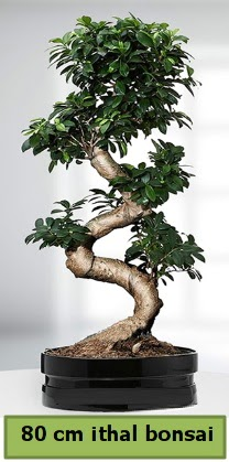 80 cm özel saksıda bonsai bitkisi  Aydın çiçekçi telefonları