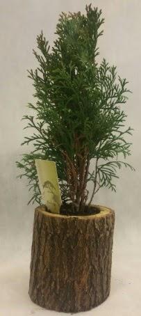 SINIRLI STOK Selvi Bonsai Doğal kütükte  Aydın İnternetten çiçek siparişi