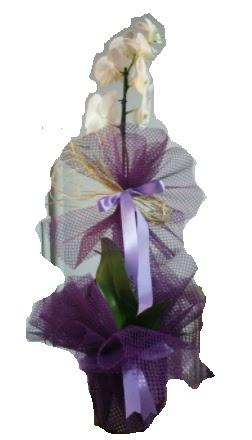 Tek dallı beyaz orkide süper kalite ithal  Aydın çiçek siparişi sitesi