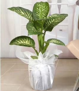 Tropik saksı çiçeği bitkisi  Aydın çiçek satışı
