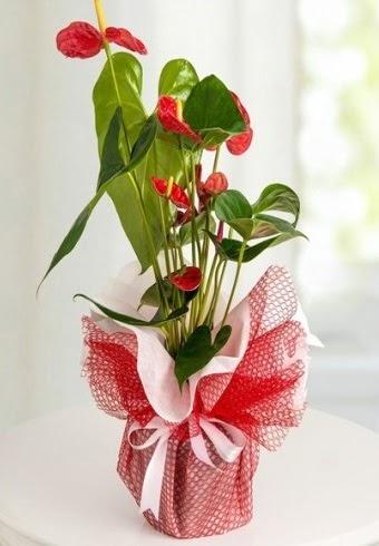 Anthurium Saksı Çiçeği  Aydın hediye çiçek yolla