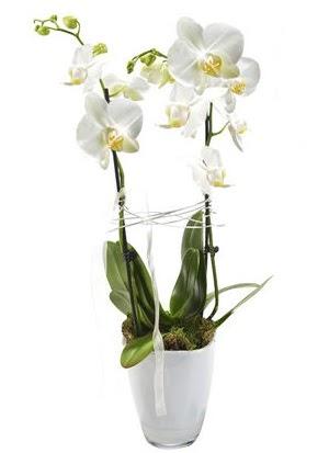 2 dallı beyaz seramik beyaz orkide saksısı  Aydın çiçek gönderme sitemiz güvenlidir