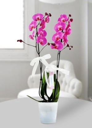 Çift dallı mor orkide  Aydın çiçekçiler
