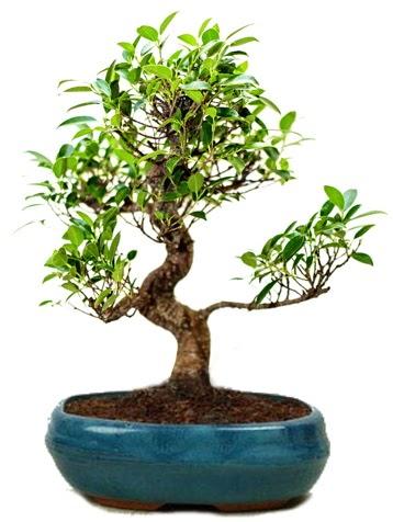 25 cm ile 30 cm aralığında Ficus S bonsai  Aydın çiçek gönderme sitemiz güvenlidir
