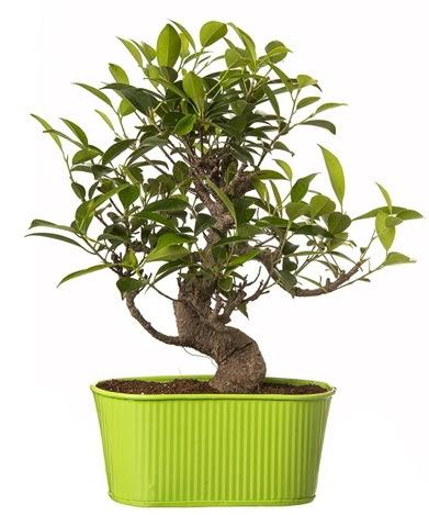 Ficus S gövdeli muhteşem bonsai  Aydın çiçek siparişi sitesi