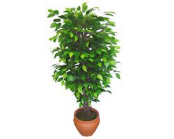 Ficus Benjamin 1,50 cm   Aydın anneler günü çiçek yolla