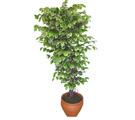 Ficus özel Starlight 1,75 cm   Aydın cicek , cicekci