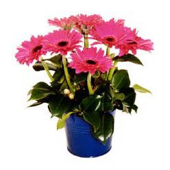 vazo içerisinde gerbera çiçekleri   Aydın online çiçek gönderme sipariş