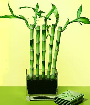 Aydın anneler günü çiçek yolla  Good Harmony Lucky Bamboo camda