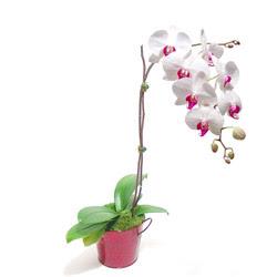 Aydın çiçek gönderme  Saksida orkide
