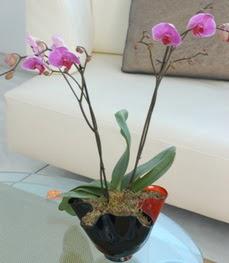 Aydın çiçekçi mağazası  tek dal ikili orkide saksi çiçegi