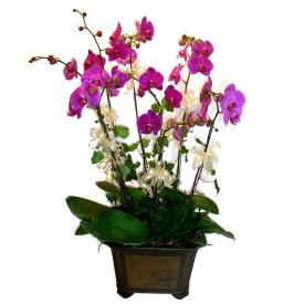 Aydın cicek , cicekci  4 adet orkide çiçegi