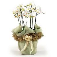 Aydın çiçek siparişi sitesi  3 dal orkide , saksi çiçegi , 3 kök orkide