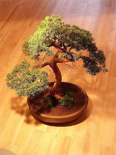 ithal bonsai saksi çiçegi  Aydın çiçek mağazası , çiçekçi adresleri