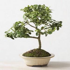 ithal bonsai saksi çiçegi  Aydın çiçek online çiçek siparişi