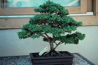 ithal bonsai saksi çiçegi  Aydın 14 şubat sevgililer günü çiçek