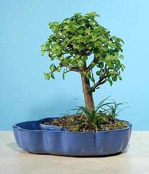 ithal bonsai saksi çiçegi  Aydın çiçekçiler