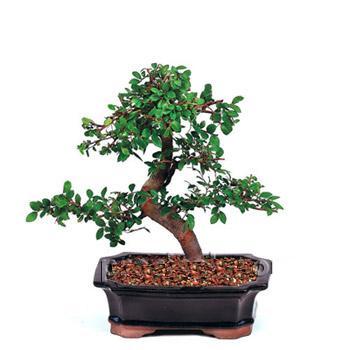 ithal bonsai saksi çiçegi  Aydın çiçek siparişi vermek