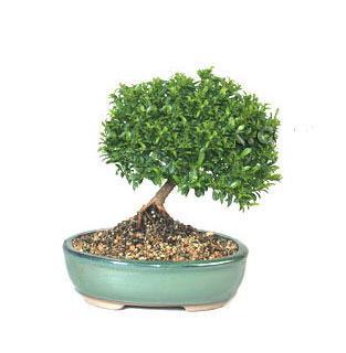 ithal bonsai saksi çiçegi  Aydın cicekciler , cicek siparisi