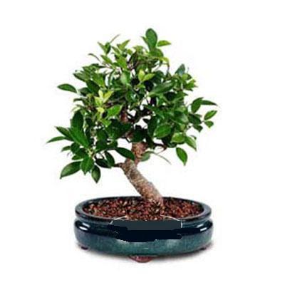 ithal bonsai saksi çiçegi  Aydın çiçek siparişi sitesi
