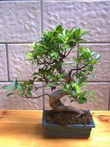 ithal bonsai saksi çiçegi  Aydın hediye sevgilime hediye çiçek
