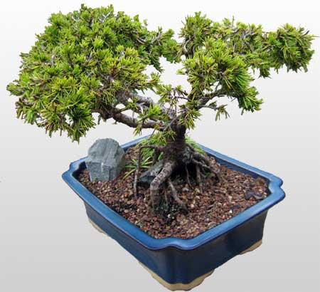 ithal bonsai saksi çiçegi  Aydın çiçekçi mağazası