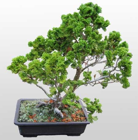 ithal bonsai saksi çiçegi  Aydın İnternetten çiçek siparişi