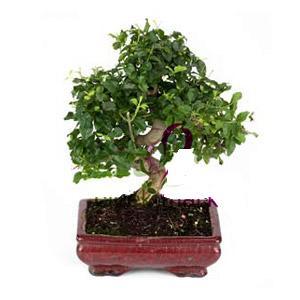 ithal bonsai saksi çiçegi  Aydın anneler günü çiçek yolla