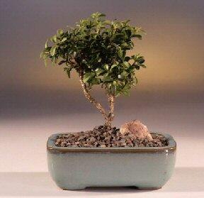Aydın çiçek yolla  ithal bonsai saksi çiçegi  Aydın internetten çiçek satışı