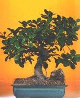 Aydın çiçekçi telefonları  ithal bonsai saksi çiçegi  Aydın internetten çiçek siparişi