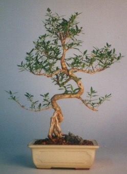 Aydın çiçek satışı  ithal bonsai saksi çiçegi  Aydın çiçek siparişi vermek
