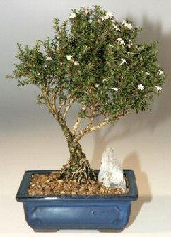 Aydın çiçek , çiçekçi , çiçekçilik  ithal bonsai saksi çiçegi  Aydın online çiçek gönderme sipariş