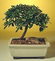 Aydın ucuz çiçek gönder  ithal bonsai saksi çiçegi  Aydın cicek , cicekci