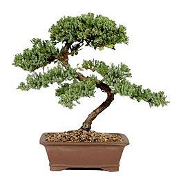 ithal bonsai saksi çiçegi  Aydın çiçek gönderme sitemiz güvenlidir