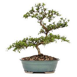 Aydın İnternetten çiçek siparişi  ithal bonsai saksi çiçegi  Aydın çiçek gönderme sitemiz güvenlidir
