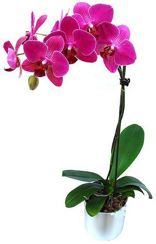 Aydın çiçekçi mağazası  saksi orkide çiçegi
