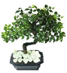 9 yasinda Bonsai agaci  Aydın yurtiçi ve yurtdışı çiçek siparişi