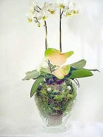 Aydın çiçek satışı  Cam yada mika vazoda özel orkideler