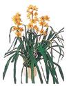 Aydın çiçekçiler  Orchiede ithal büyük boy saksi