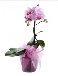 1 dal pembe orkide saksı çiçeği  Aydın kaliteli taze ve ucuz çiçekler