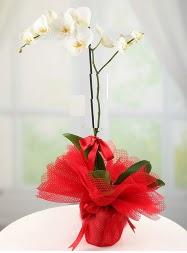 1 dal beyaz orkide saksı çiçeği  Aydın yurtiçi ve yurtdışı çiçek siparişi