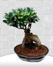 saksı çiçeği japon ağacı bonsai  Aydın kaliteli taze ve ucuz çiçekler
