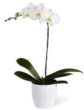 1 dallı beyaz orkide  Aydın 14 şubat sevgililer günü çiçek