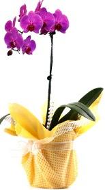 Aydın çiçek siparişi sitesi  Tek dal mor orkide saksı çiçeği