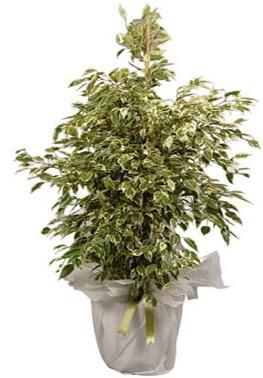 Orta boy alaca benjamin bitkisi  Aydın internetten çiçek satışı