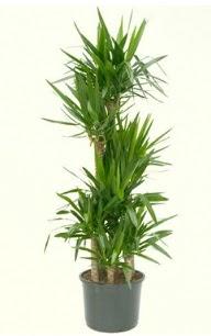 7 li yucca saksı bitkisi  Aydın çiçek servisi , çiçekçi adresleri