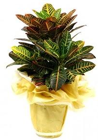 Orta boy kraton saksı çiçeği  Aydın 14 şubat sevgililer günü çiçek