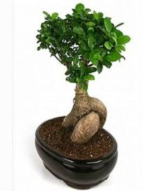 Bonsai saksı bitkisi japon ağacı  Aydın çiçek siparişi sitesi